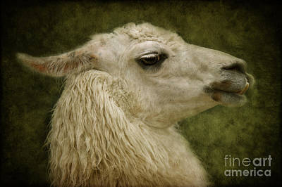 Llama Mixed Media - My Sweetheart by Angela Doelling AD DESIGN Photo and PhotoArt