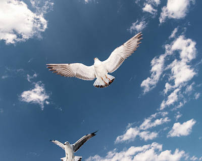 Photograph - Myanmar, Inle Lake, Seagulls Inflight by Martin Puddy