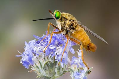 Robert Jensen Photograph - Mydas Fly Rhaphiomidas Acton by Robert Jensen