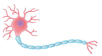 Ranvier Photograph - Myelinated Neuron, Illustration by MedicalWriters
