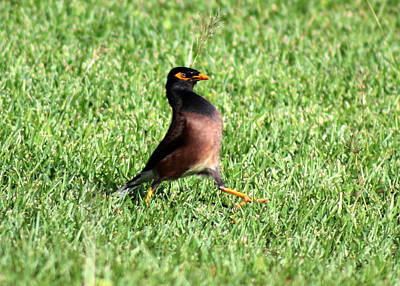 Common Myna Photograph - Myna by Ange Sylvestri