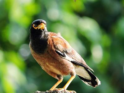 Photograph - Myna by Ayan Mukherjee