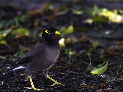 Common Myna Photograph - Myna Bird Portrait by Mr Bennett Kent