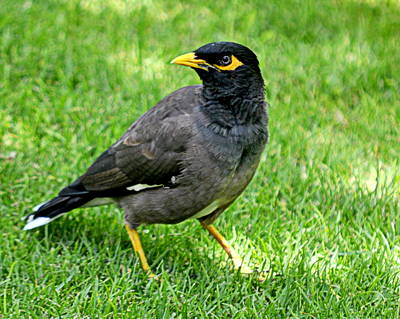 Photograph - Mynah Bird by AJ  Schibig