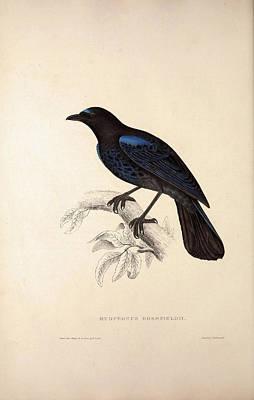 Exotic Drawing - Myophonus Horsfieldii, Malabar Whistling Thrush. Birds by Quint Lox