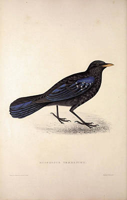 Asian Artist Drawing - Myophonus Temmenckii. Birds From The Himalaya Mountains by Quint Lox