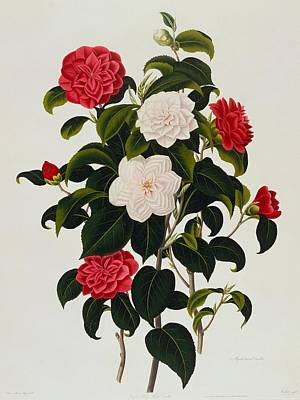 Myrtle Leaved Camellia Art Print