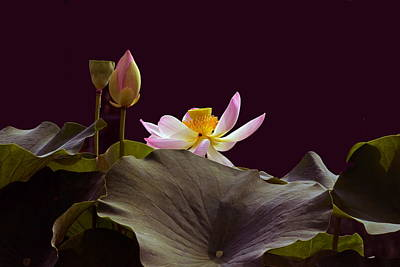 Photograph - Mysterious Lotus by Byron Varvarigos