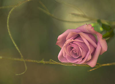 Photograph - Mysterious Rose by Sandra Silva