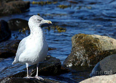 Photograph - Mystic Seagull by Sabrina L Ryan