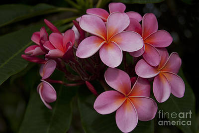 Na Lei Pua Melia O Wailua - Pink Tropical Plumeria Hawaii Art Print by Sharon Mau