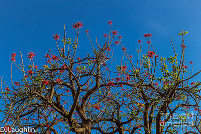 Photograph - Naked Coral Tree by DJ Laughlin