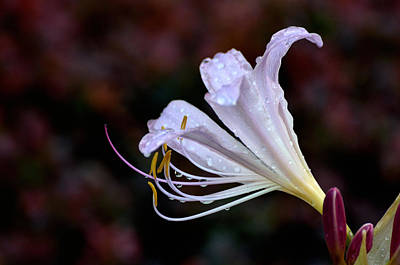 Photograph - Naked Lily by Kathleen Stephens