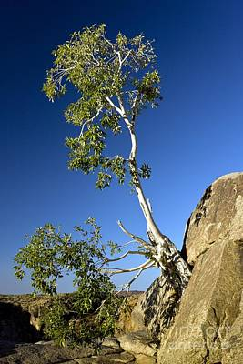 Blue Fig Photograph - Namaqua Fig (ficus Cordata) by Bob Gibbons
