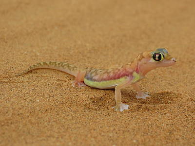 Photograph - Namib Desert Gecko by Ramona Johnston
