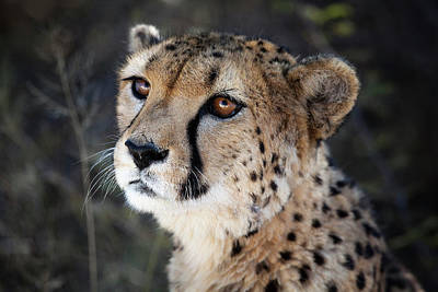 Acinonyx Photograph - Namibia Close-up Of A Cheetah by Janet Muir