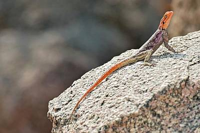 Agama Photograph - Namibian Rock Agama by Tony Camacho