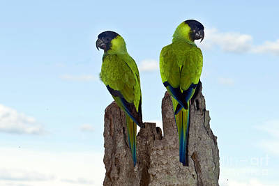 Photograph - Nanday Conures by Anita Studer