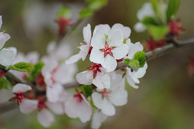 Photograph - Nanking Branch With Blossoms by Donna L Munro
