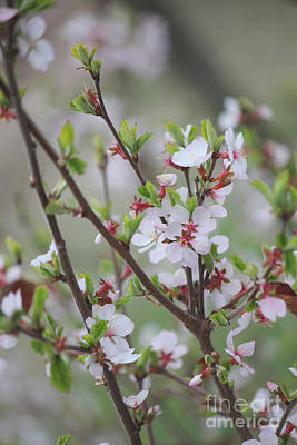 Photograph - Nanking Cherry Bush Blossoms by Donna L Munro
