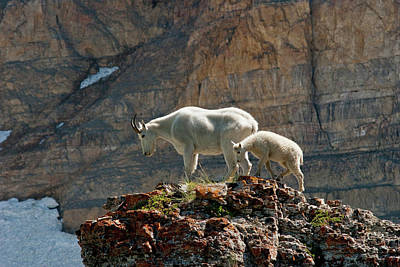 Rocky Mountain Goat Photograph - Nanny Mountain Goat And Kid, Oreamnos by Howie Garber