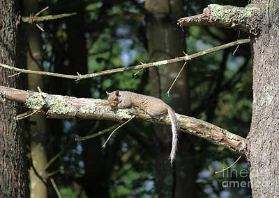 Professional Photograph - Nap Time - Sleeping Squirrel by Cheryl Aguiar