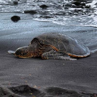 Reptiles Wall Art - Photograph - Nap Time.... #instagood #blacksandbeach by Brian Governale