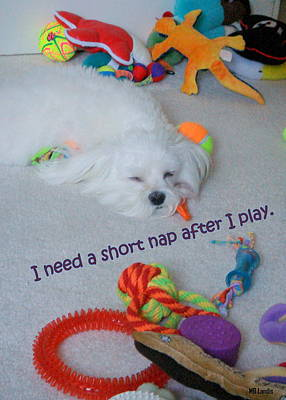 Toy Maltese Photograph - Nap Time by Mary Beth Landis