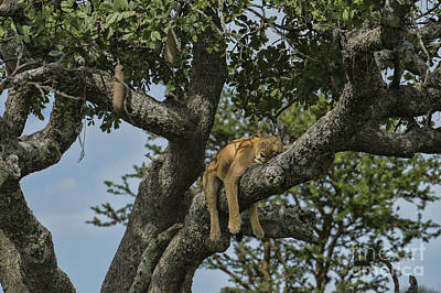 Nap Time On The Serengeti Art Print by Sandra Bronstein