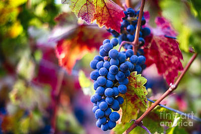 Bunch Of Grapes Photograph - Bounty Of Napa Valley II by George Oze