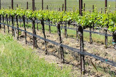 Wine Photograph - Napa Valley  California Vineyard In Spring by Brandon Bourdages