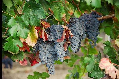 Photograph - Napa Valley Merlot by Vinnie Oakes