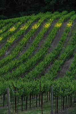 Wine Grapes Photograph - Napa Valley Vineyard by Steve Gadomski