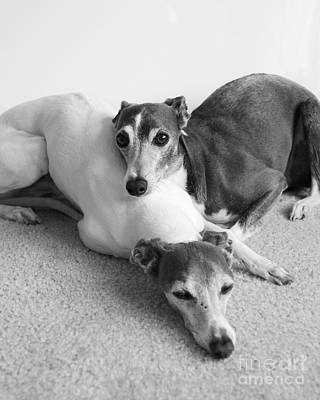 Photograph - Napping Greyhounds by Kate Sumners