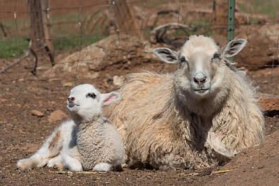 Napping Sheep Art Print