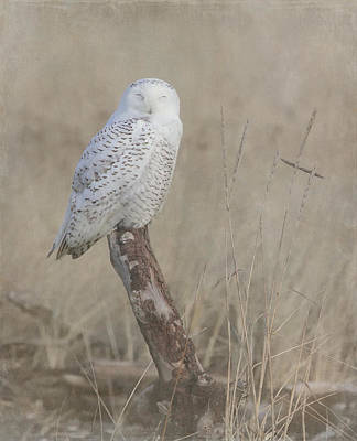 Photograph - Napping Snowy Owl by Angie Vogel