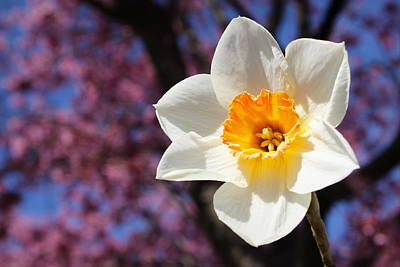 Narcissus And Cherry Blossoms Art Print