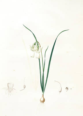 Tear Drawing - Narcissus Calathinus, Narcissus Triandrus Narcisse à by Artokoloro