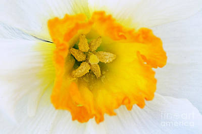 Photograph - Narcissus Closeup by Larry Ricker