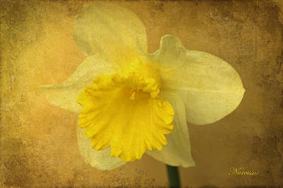 Photograph - Narcissus by David Birchall