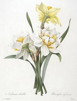 Double Drawing - Narcissus Gouani Double Daffodil by Pierre Joseph Redoute