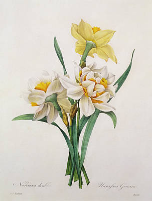Narcissus Painting - Narcissus Gouani by Pierre Joseph Redoute