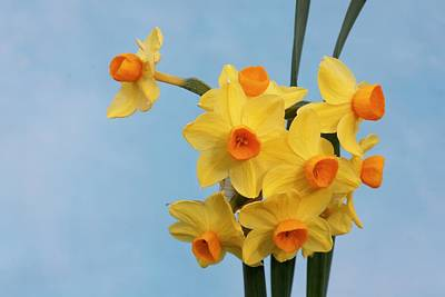 Narcissus 'grand Soleil D'or' Art Print