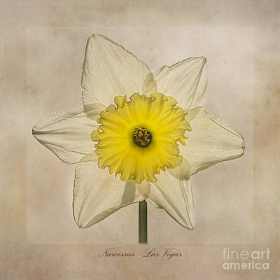 Lilies Royalty-Free and Rights-Managed Images - Narcissus Las Vegas by John Edwards