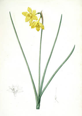 Lively Drawing - Narcissus Odorus, Narcissus Odorant , Sweet-scented by Artokoloro