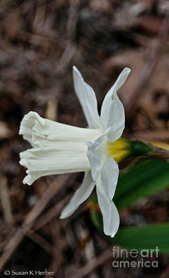 Photograph - Narcissus Profile by Susan Herber