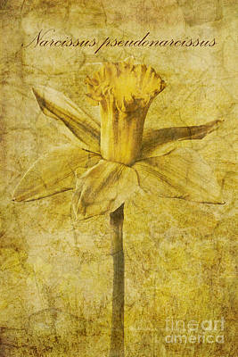 Lilies Royalty-Free and Rights-Managed Images - Narcissus pseudonarcissus by John Edwards