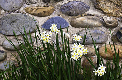 Photograph - Narcissus by Sherri Meyer