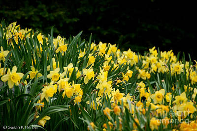 Photograph - Narcissus Slope by Susan Herber