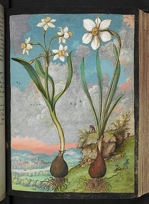 Gathering Photograph - Narcissus Sp. by British Library